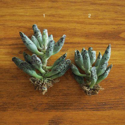 Adromischus C. Festivus