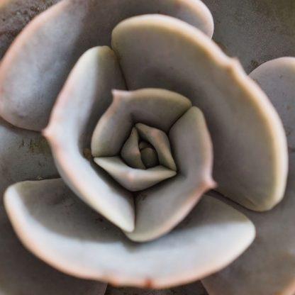 Echeveria Pollux detail